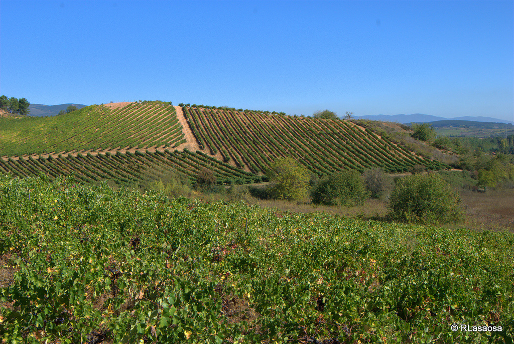 Cacabelos green vineyards