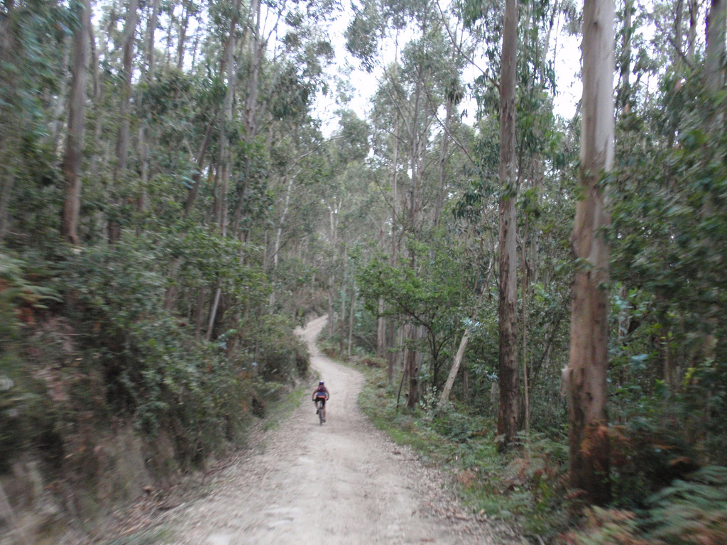 Pilgrim in the Saint James Way by bike going through a path among eucalyptus trees in the province of A Coruña